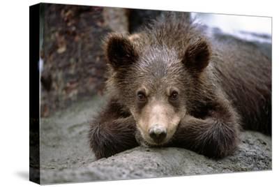 Grizzly Bear Cub Laying on Ground Alaska Wildlife Conservation Center Sc Alaska Summer Captive-Design Pics Inc-Stretched Canvas Print