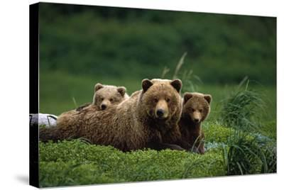 Grizzly Bear Mother and Cubs Lay in Field Southwest Ak - Nsummer-Design Pics Inc-Stretched Canvas Print