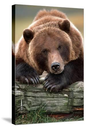 Brown Bear Rests with it Front Legs Outstrenched on a Log, Alaska Wildlife Conservation Center-Design Pics Inc-Stretched Canvas Print