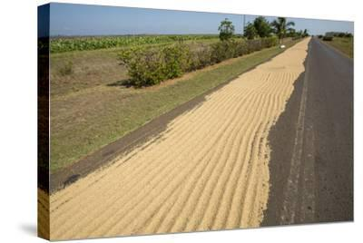 Newly Harvested Rice Dries on a Blacktop Road in a Rural Area-Michael Lewis-Stretched Canvas Print