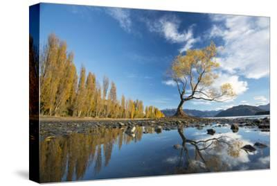 A Lone Cottonwood Tree on Stands on the Bank of Lake Wanaka-Michael Melford-Stretched Canvas Print