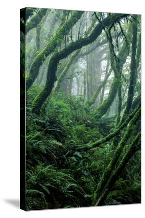 Moss-Covered Tree Trunks and Ferns in Muir Woods National Monument, California-Keith Ladzinski-Stretched Canvas Print
