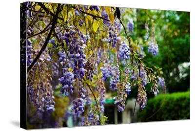 Flowering Wisteria Hangs in a Garden-Keith Ladzinski-Stretched Canvas Print