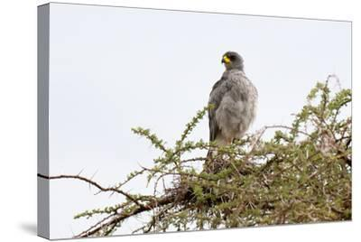 An Eastern Chanting Goshawk, Melierax Poliopterus, Perching in a Tree-Sergio Pitamitz-Stretched Canvas Print
