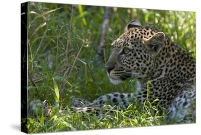 Portrait of a Young Leopard, Panthera Pardus, Resting in the Shade-Sergio Pitamitz-Stretched Canvas Print