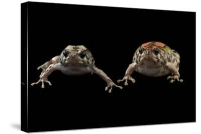 Endangered Malagasy Rainbow Frogs at the National Mississippi River Museum and Aquarium-Joel Sartore-Stretched Canvas Print