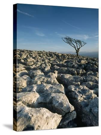 Hawthorne Tree on Limestone Pavement-Design Pics Inc-Stretched Canvas Print