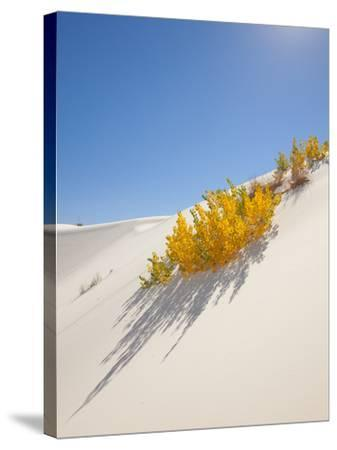 Cottonwood Trees with Fall Color in White Sands National Monument-Derek Von Briesen-Stretched Canvas Print