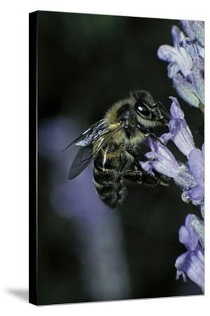 Apis Mellifera (Honey Bee) - Foraging on a Lavender Flower-Paul Starosta-Stretched Canvas Print