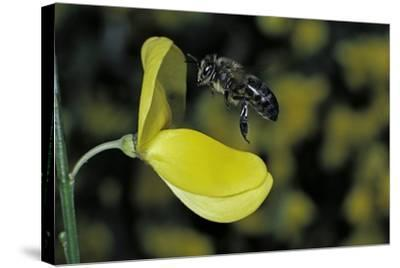 Apis Mellifera (Honey Bee) - Foraging and Approaching a Broom Flower-Paul Starosta-Stretched Canvas Print