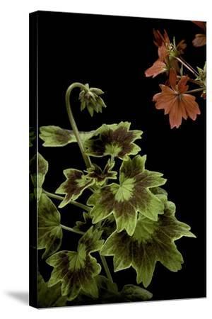 Pelargonium X Hortorum 'Golden Ears' (Common Geranium, Garden Geranium, Zonal Geranium)-Paul Starosta-Stretched Canvas Print