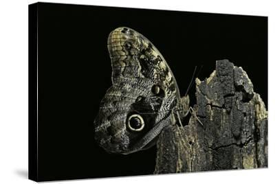 Caligo Memnon (Pale Owl Butterfly, Giant Owl Butterfly)-Paul Starosta-Stretched Canvas Print