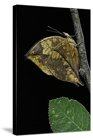 Kallima Paralekta (Indian Leafwing, Malayan Leafwing Butterfly)-Paul Starosta-Stretched Canvas Print
