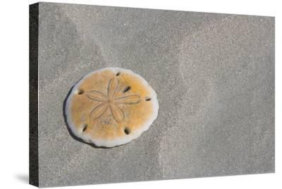 Sand Dollar-DLILLC-Stretched Canvas Print