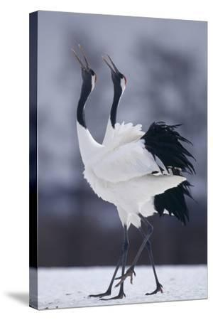 Red-Crowned Cranes in Courtship Display-DLILLC-Stretched Canvas Print