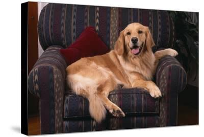 Golden Retriever Sitting in Armchair-DLILLC-Stretched Canvas Print