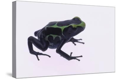 Green Poison Arrow Frog-DLILLC-Stretched Canvas Print