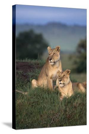 Lionesses in Grass-DLILLC-Stretched Canvas Print