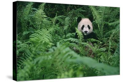 Giant Panda in Forest-DLILLC-Stretched Canvas Print