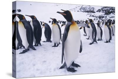 King Penguins Standing in Snow-DLILLC-Stretched Canvas Print