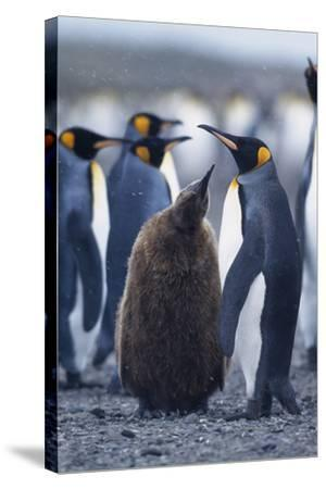 King Penguins-DLILLC-Stretched Canvas Print
