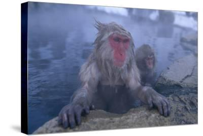 Japanese Macaques in Hot Spring-DLILLC-Stretched Canvas Print