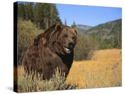 Grizzly Bear Roaming in Mountain Meadow-DLILLC-Stretched Canvas Print