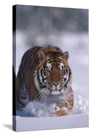 Bengal Tiger Walking in Snow-DLILLC-Stretched Canvas Print