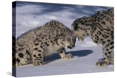 Snow Leopards Facing Off-DLILLC-Stretched Canvas Print
