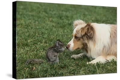 Australian Shepherd Facing off a California Ground Squirrel-DLILLC-Stretched Canvas Print
