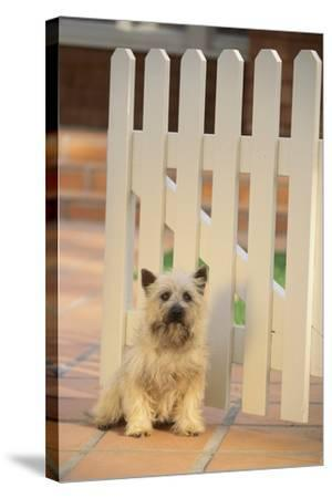 Cairn Terrier-DLILLC-Stretched Canvas Print