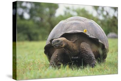 Galapagos Tortoise in the Grass-DLILLC-Stretched Canvas Print