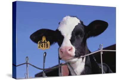 Holstein Calf with Eartag-DLILLC-Stretched Canvas Print