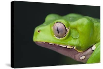 Monkey Tree Frog-DLILLC-Stretched Canvas Print