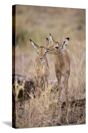 Young Impala Friends Nuzzling-DLILLC-Stretched Canvas Print