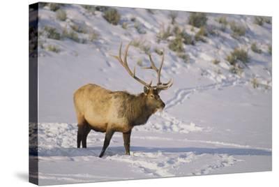 Elk-DLILLC-Stretched Canvas Print