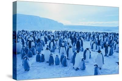 Emperor Penguins-DLILLC-Stretched Canvas Print