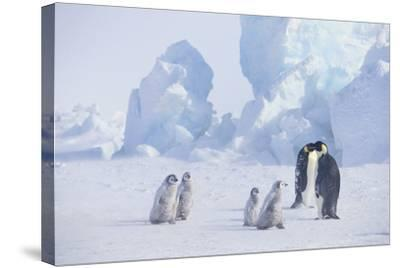 Young Emperor Penguins and Adult-DLILLC-Stretched Canvas Print