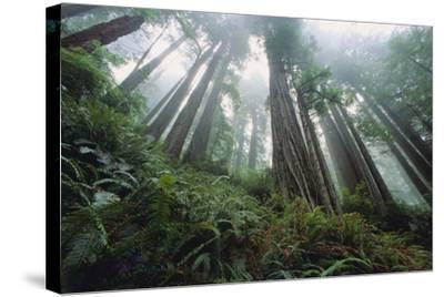 Old Growth Redwood Trees-DLILLC-Stretched Canvas Print