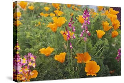 Poppies and Toadflax-DLILLC-Stretched Canvas Print