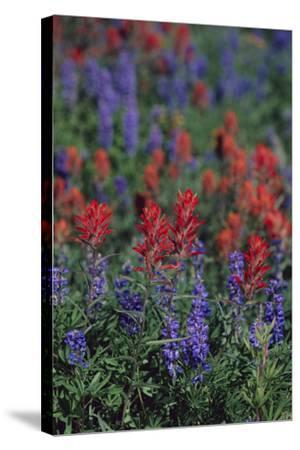 Giant Red Paintbrush and Lupine-DLILLC-Stretched Canvas Print