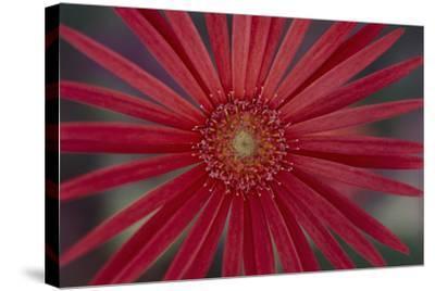 African Daisy-DLILLC-Stretched Canvas Print
