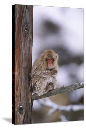 Japanese Macaque-DLILLC-Stretched Canvas Print