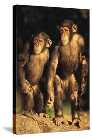 Chimpanzees-DLILLC-Stretched Canvas Print
