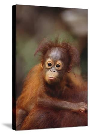 Orangutan Baby on Parent's Back-DLILLC-Stretched Canvas Print
