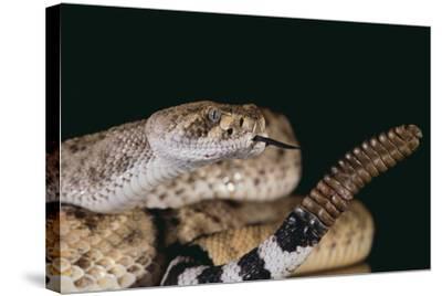 Western Diamondback Rattlesnake-DLILLC-Stretched Canvas Print
