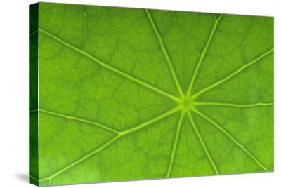 Close-Up of Nasturtium Leaf-DLILLC-Stretched Canvas Print