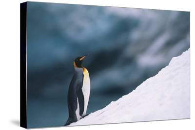 King Penguin on Snow-DLILLC-Stretched Canvas Print