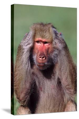 Hamadryas Baboon with Hands on Head-DLILLC-Stretched Canvas Print