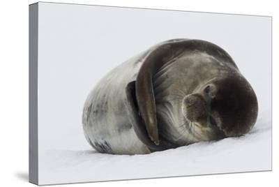 Weddell Seal-Joe McDonald-Stretched Canvas Print